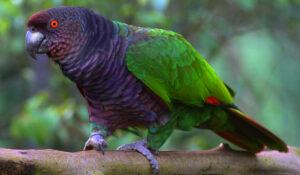 Dominica National Bird: Amazona imperalis (Sisserou Parrot)