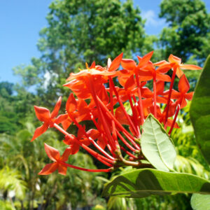 National Flower of Dominica